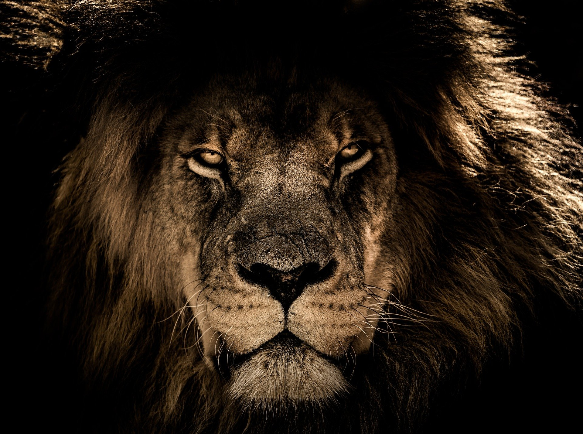 african lion 2888519 1920